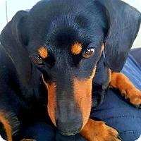 Adopt A Pet :: TILLY( TINY TINY LITTLE DOLL!! - Wakefield, RI