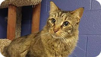 Domestic Mediumhair Cat for adoption in Canastota, New York - Nova