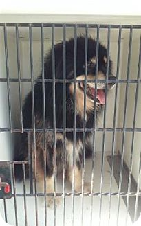 Collie/Husky Mix Dog for adoption in Belle Chasse, Louisiana - Fluffy