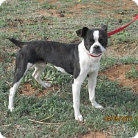 Boston Terrier Dog for adoption in Anton, Texas - Boss