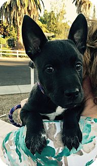 Border Collie/Cattle Dog Mix Puppy for adoption in Concord, California - Solo