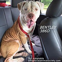 Adopt A Pet :: Bentley - Spring, TX