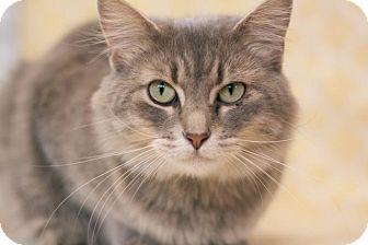 Domestic Mediumhair Cat for adoption in Murphysboro, Illinois - Aurora
