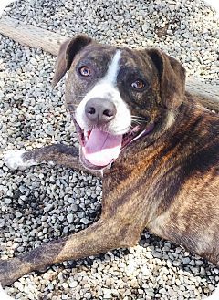 American Staffordshire Terrier/Boxer Mix Dog for adoption in Los Angeles, California - Rainbow