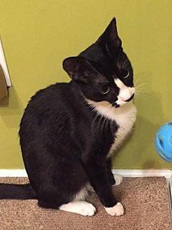 Domestic Shorthair Cat for adoption in New Bern, North Carolina - FULCHER