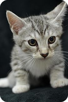 Domestic Shorthair Kitten for adoption in Atlanta, Georgia - Garfield (JAYDER)161687