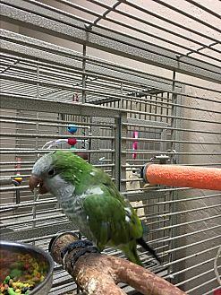 Parakeet - Quaker for adoption in Punta Gorda, Florida - Bobbie