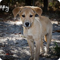 Adopt A Pet :: Lippy - Weeki Wachee, FL