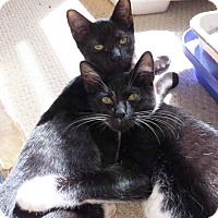 Domestic Shorthair Kitten for adoption in Westwood, New Jersey - Olive & Oliver