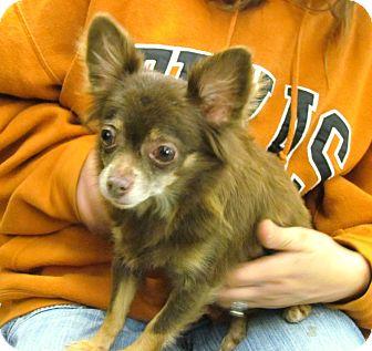 Chihuahua Mix Dog for adoption in House Springs, Missouri - GiGi