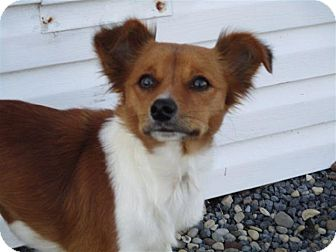 Papillon Mix Dog for adoption in Liberty Center, Ohio - Novina