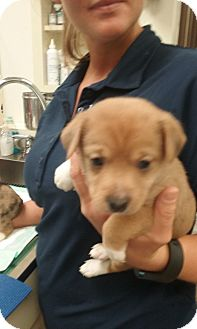 Jack Russell Terrier Mix Puppy for adoption in Russellville, Kentucky - Jingle
