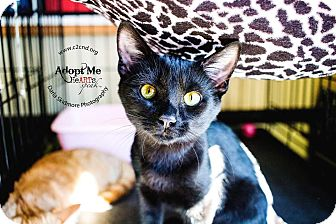Domestic Shorthair Kitten for adoption in Mooresville, North Carolina - A..  Asher
