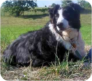 Border Collie Dog for adoption in Tiffin, Ohio - Sassy