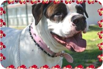 American Bulldog Dog for adoption in Phoenix, Arizona - Lola