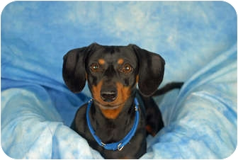 Dachshund Dog for adoption in Ft. Myers, Florida - Zippy