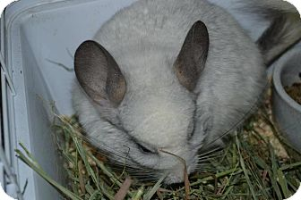 Chinchilla for adoption in Patchogue, New York - Umber