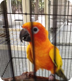Conure for adoption in Punta Gorda, Florida - Tarzan