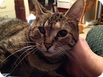 Domestic Shorthair Cat for adoption in Green Bay, Wisconsin - Sparkle