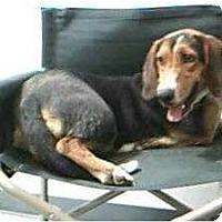 Basset Hound Dog for adoption in Acton, California - Martha