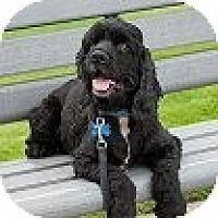 Adopt A Pet :: EMMETT - Tacoma, WA