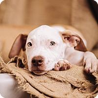 Adopt A Pet :: Hudson - Portland, OR