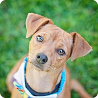 Adopt A Pet :: Hazel Nut - Kingwood, TX