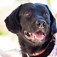 Adopt A Pet :: Huey - Phoenix, AZ