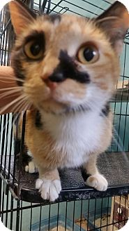 Calico Cat for adoption in Ocala, Florida - Mia the Calico
