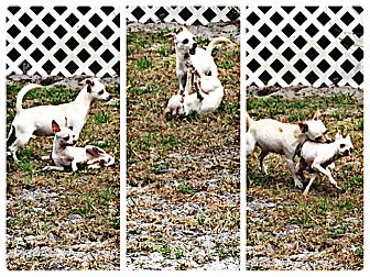 Chihuahua Dog for adoption in Palm Bay, Florida - Austyn