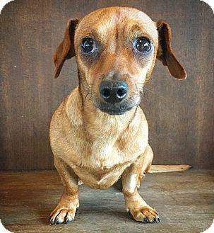 Dachshund Mix Dog for adoption in Fredericksburg, Texas - Pancake