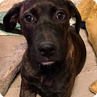Mastiff/Labrador Retriever Mix Puppy for adoption in chicago, Illinois - Elia