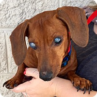 Dachshund Mix Dog for adoption in Summerville, South Carolina - Rascal