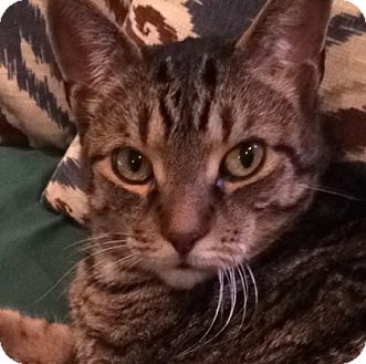 Domestic Shorthair Cat for adoption in Toronto, Ontario - Leo