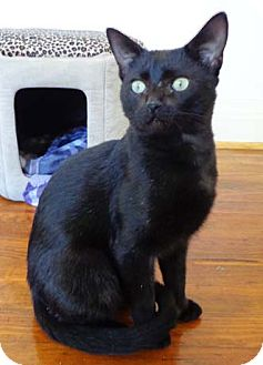 Domestic Shorthair Cat for adoption in Merrifield, Virginia - Othello