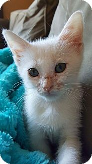 Domestic Shorthair Kitten for adoption in Florence, Kentucky - Obie