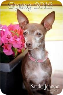 Chihuahua Dog for adoption in Orlando, Florida - Roxie Heart
