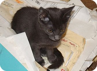 Russian Blue Kitten for adoption in Scottsdale, Arizona - Shauna