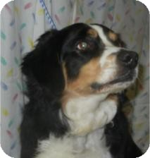 Bernese Mountain Dog Mix Dog for adoption in Antioch, Illinois - Opruff Winfrey