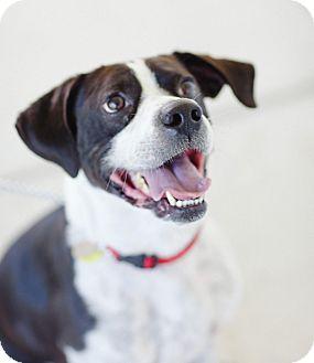 Vizsla/Boston Terrier Mix Dog for adoption in Goleta, California - Trumpet