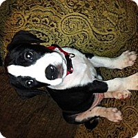 Adopt A Pet :: Maxx - Charlotte, NC