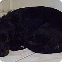 Adopt A Pet :: Paisley - NJ - Jacobus, PA
