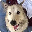 Adopt A Pet :: Koda - sweet senior needs love