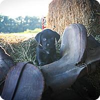 Adopt A Pet :: Berdie Mae - Russellville, KY