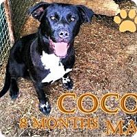 Adopt A Pet :: Cocoa - Boaz, AL
