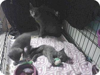 Russian Blue Cat for adoption in Queens, New York - Russian Blue kittens and mom