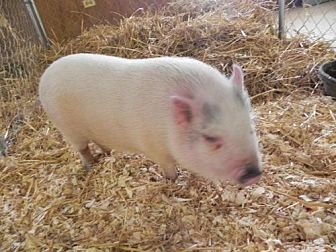 Pig (Potbellied) for adoption in Woodstock, Illinois - Pringle