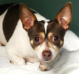 Chihuahua/Rat Terrier Mix Dog for adoption in Staten Island, New York - Mylo