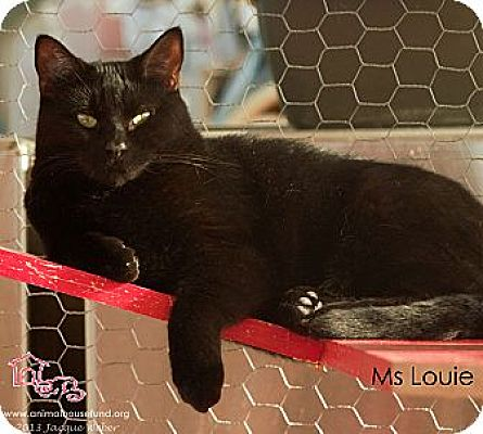 Domestic Shorthair Cat for adoption in St Louis, Missouri - Ms. Louie