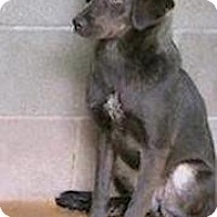 Labrador Retriever Mix Dog for adoption in Tahlequah, Oklahoma - Dianah